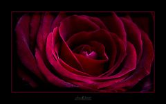 The mysterious rose
