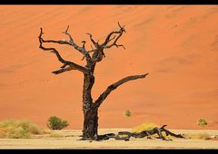 the old trees of the dead Vlei...
