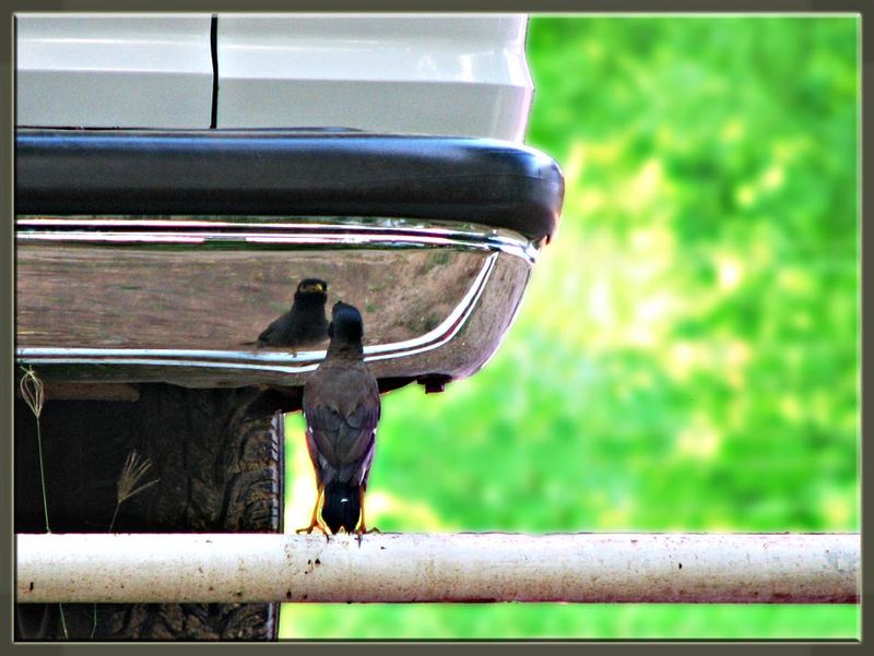the one (myna) who likes mirror