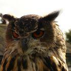 The Owl of Disdain