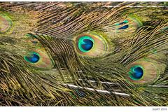 The Peacock's Feathers...