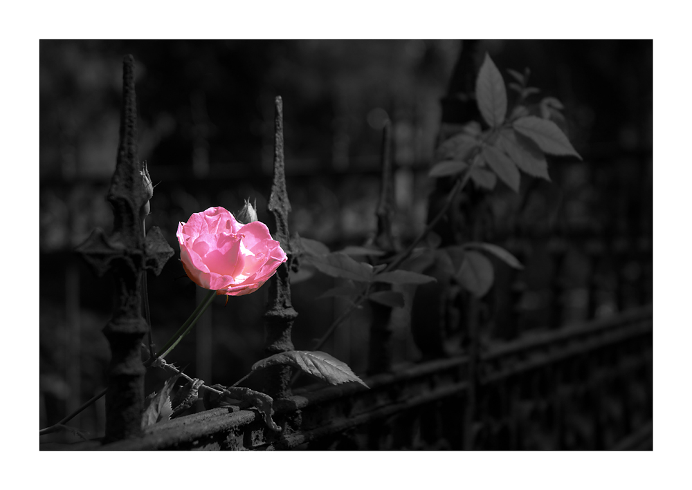 The pink rose...