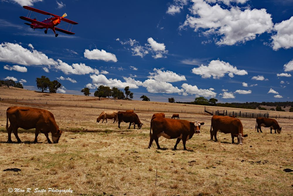 The Plane and the Cattle