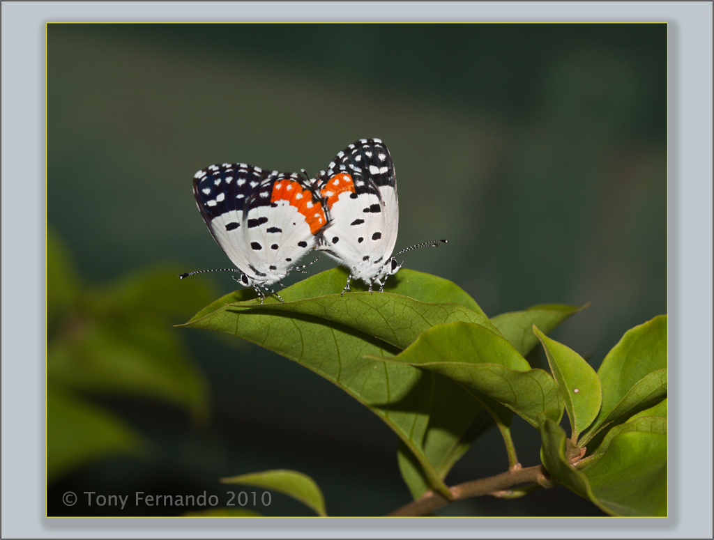 The Red Pierrot (Talicada nyseus)