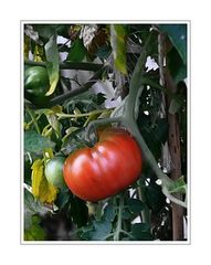 the red tomato ( is a vegetable, that can grow before a house door)