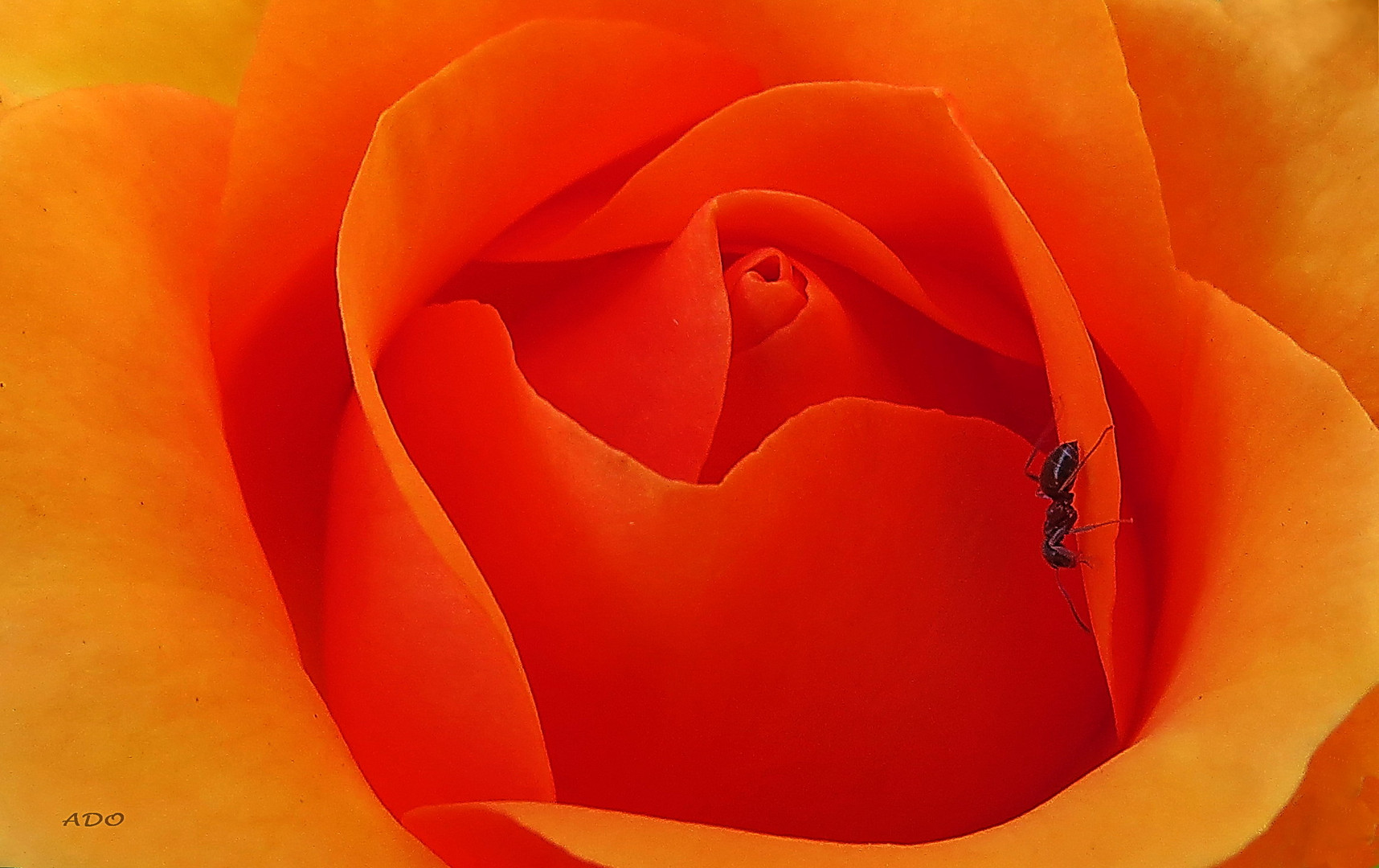 The Rose and the Ant
