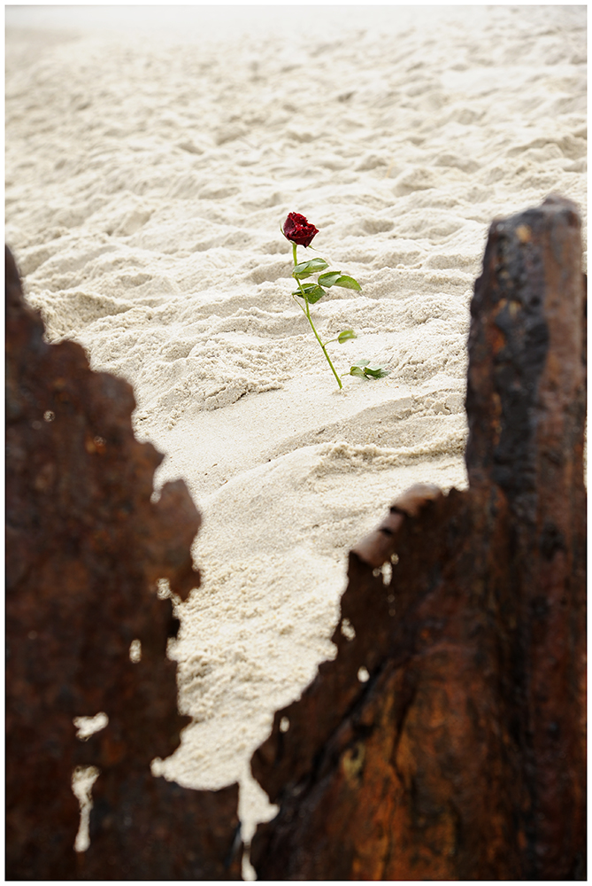 The Rose, the wind & the sand