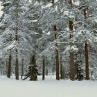 The snowy forest