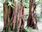 The Spirit of the Metasequoia