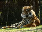 The splendid tiger, on of the most threatened animals
