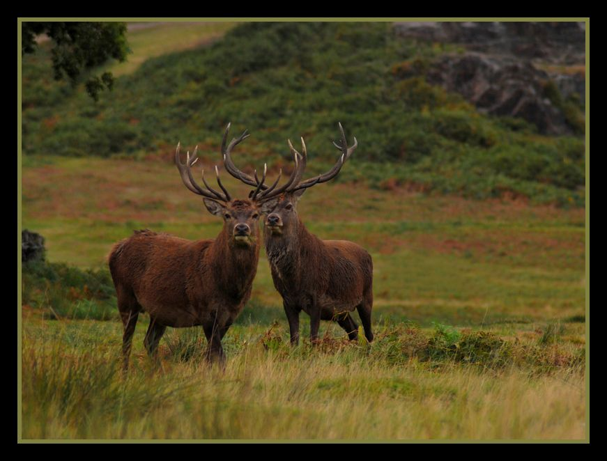 The Stags