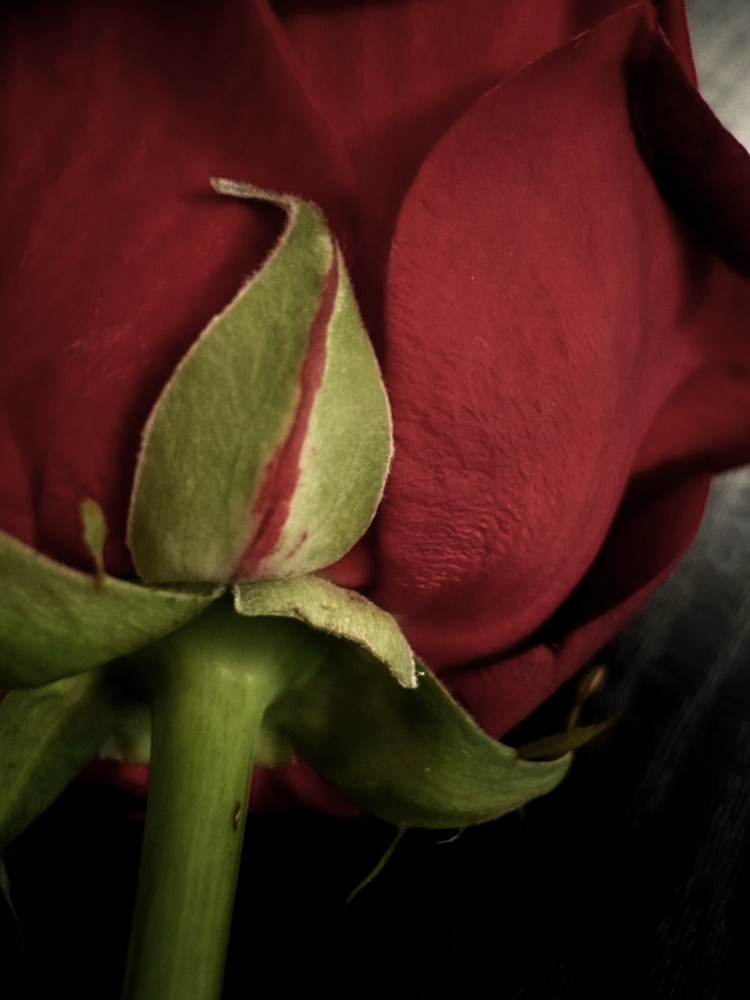 the story of a rose