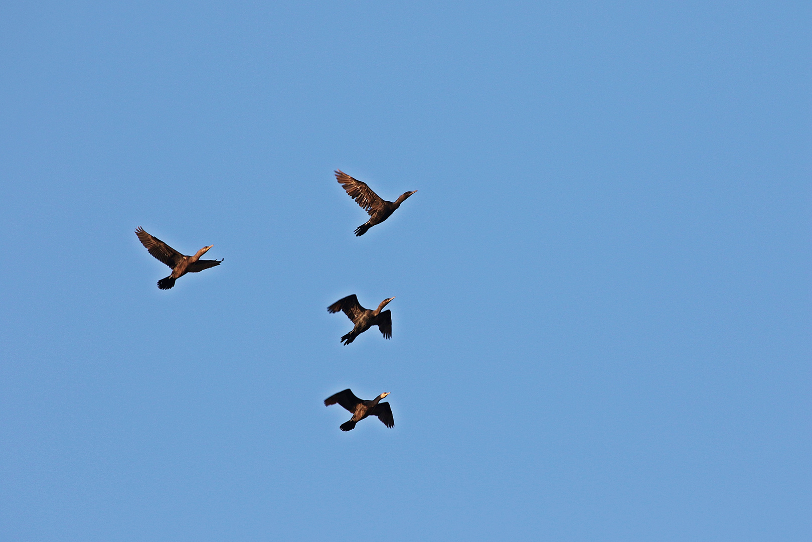 The summer is gone..cormorants bearing North..