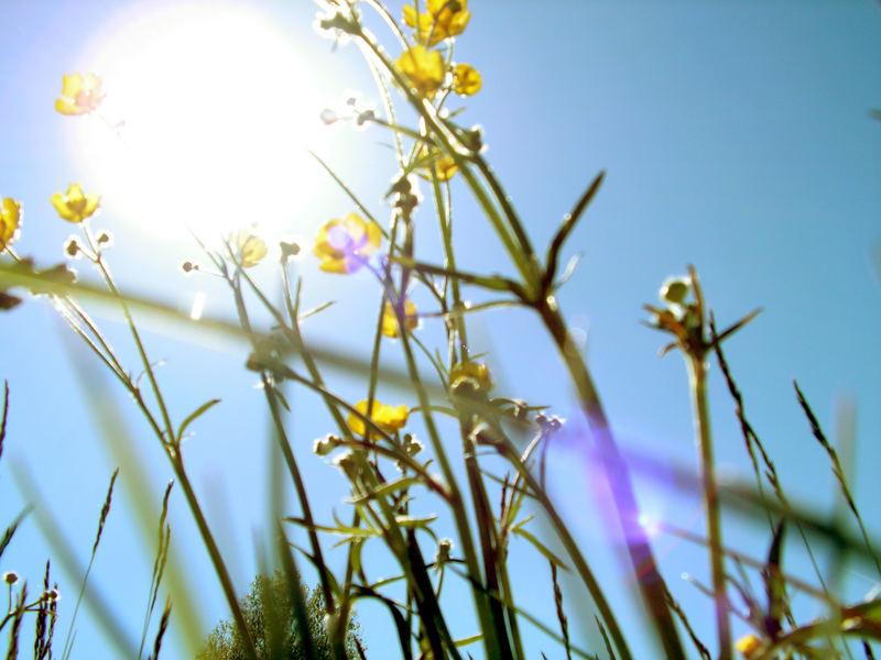 The sun penetrates buttercups