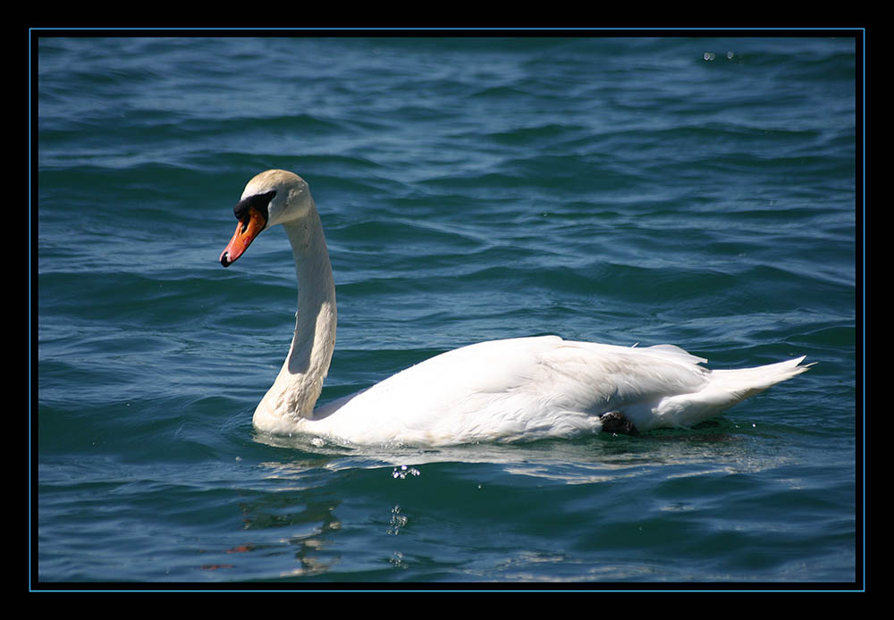 The Swan (reloaded)