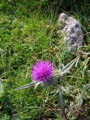 The Thistle, Scotland's National Emblem