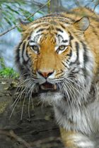 THE >>TIGER<<