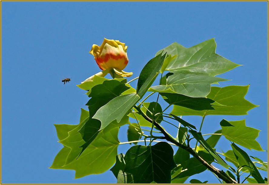 The tulip tree.