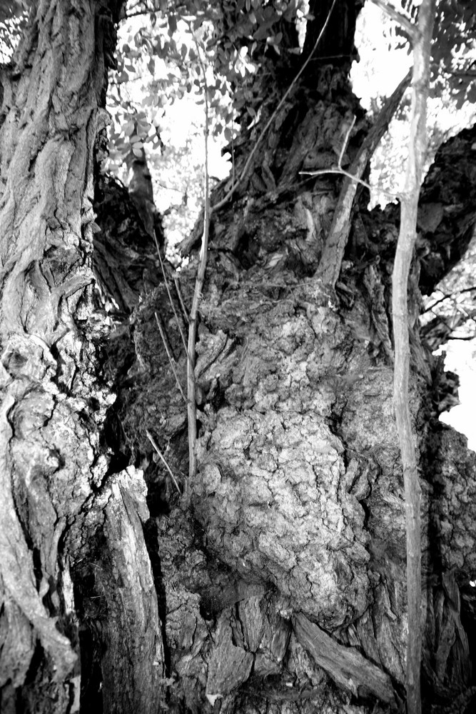 the ulm tree 1