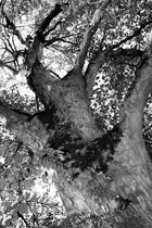 The ulm tree 5