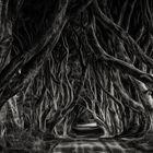 The (very) Dark Hedges ...