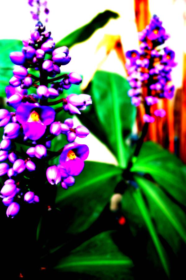 The Violet.