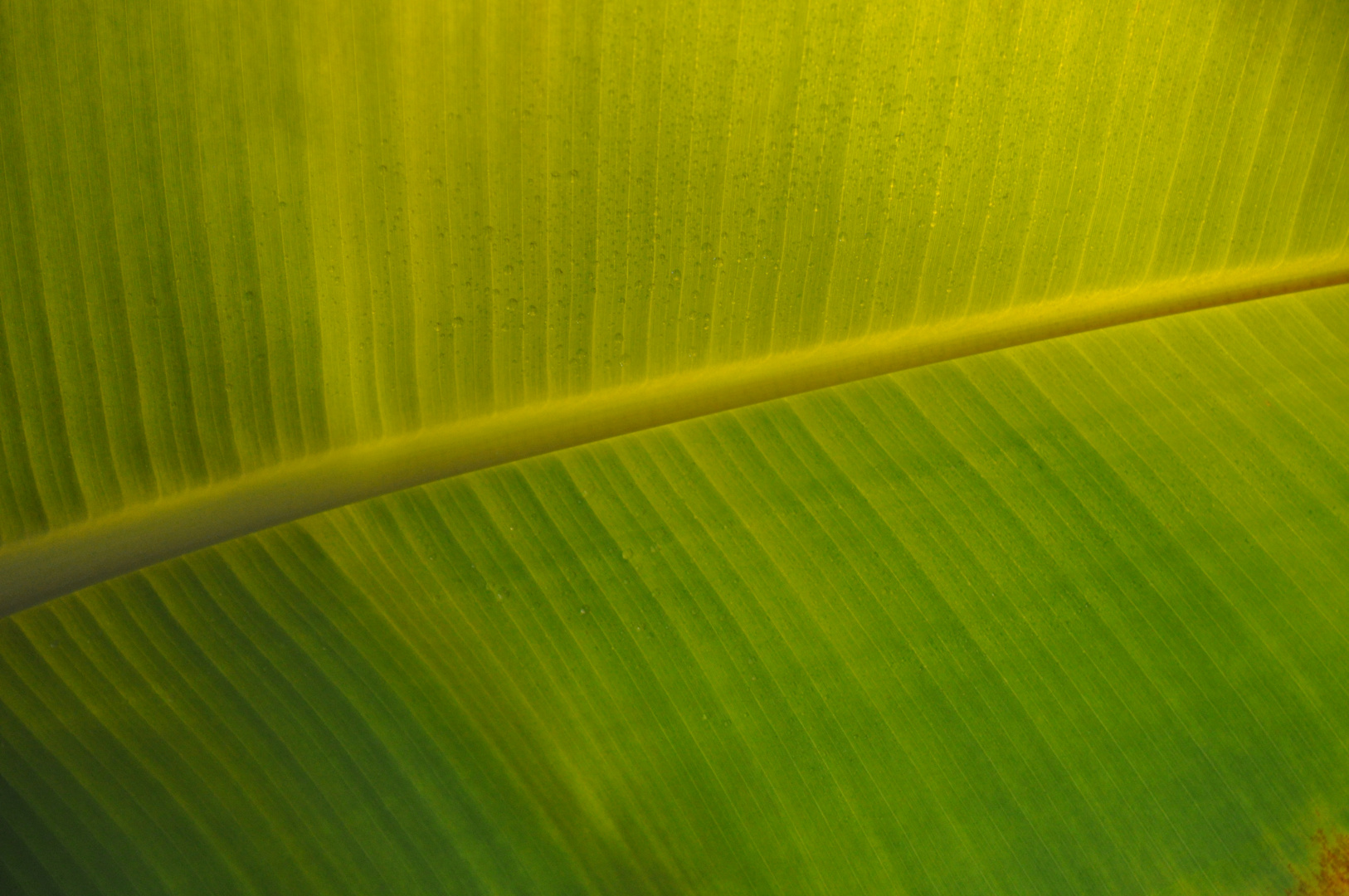 The Wave *Bananenblatt*