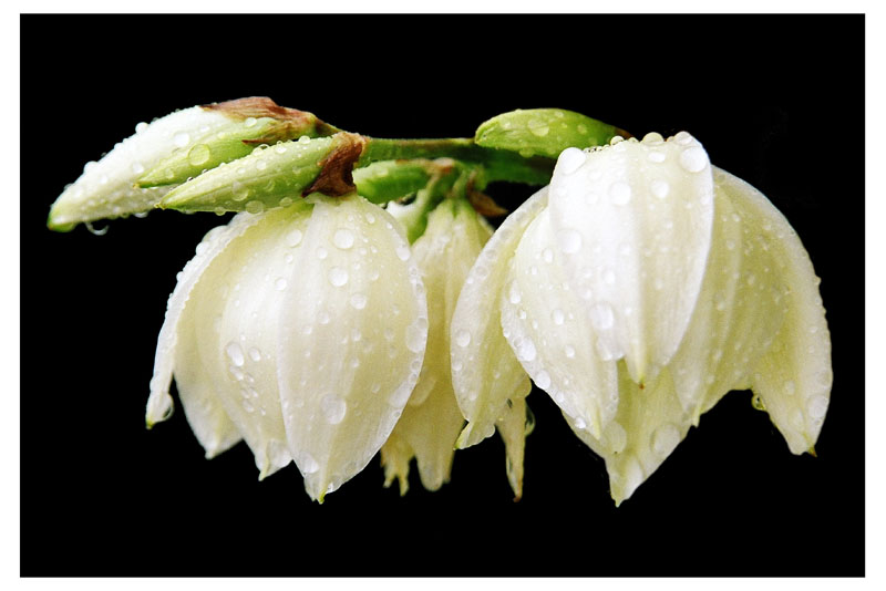 The wet lily of the valley