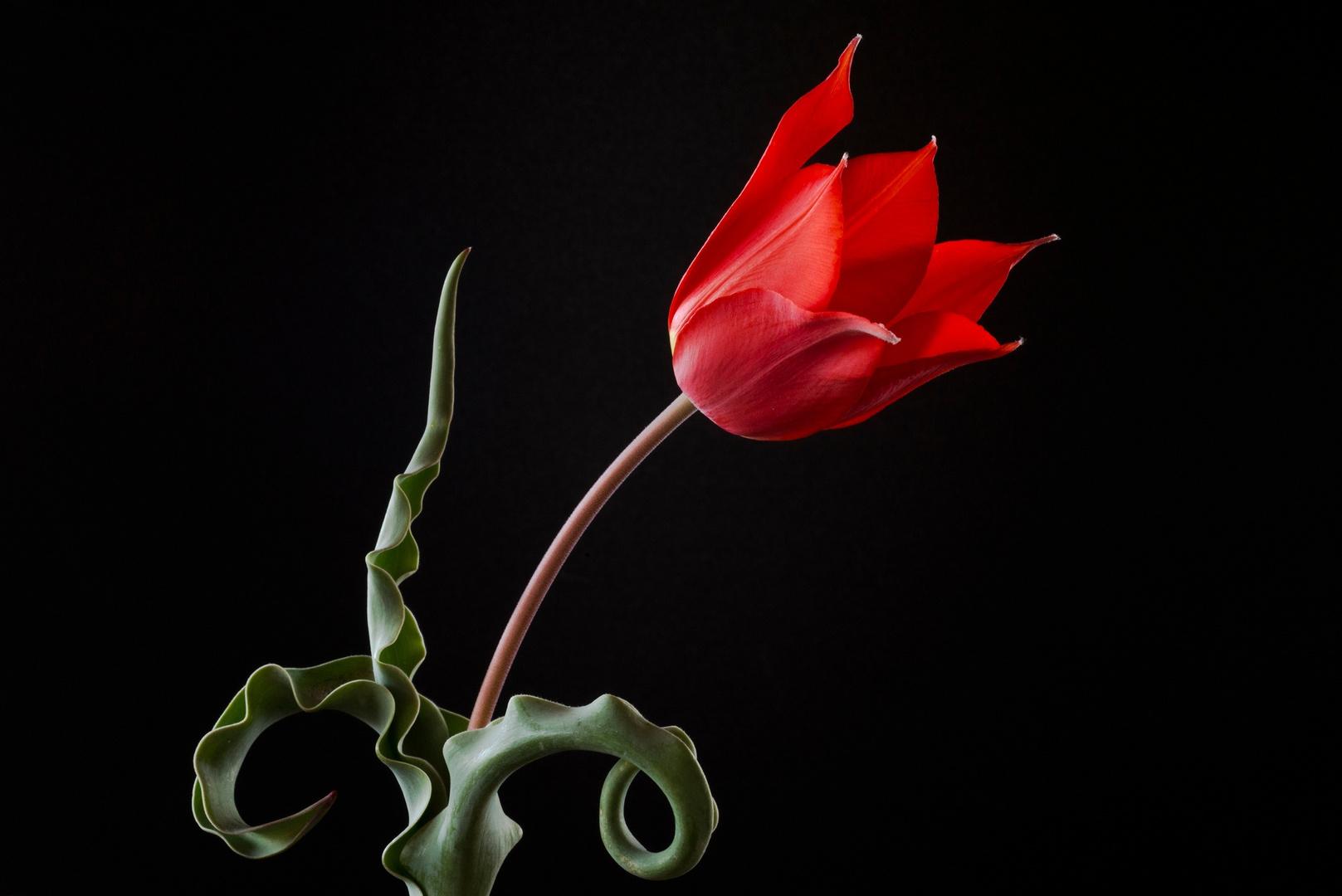 The Wild Tulip 1