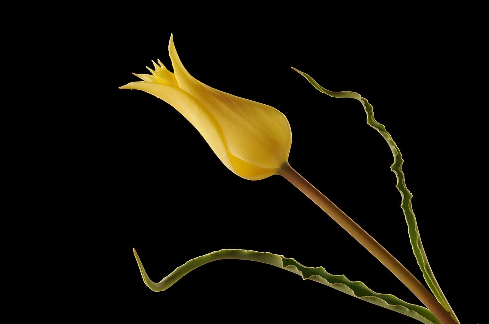 The Wild Tulip 2