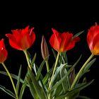 The Wild Tulip 4