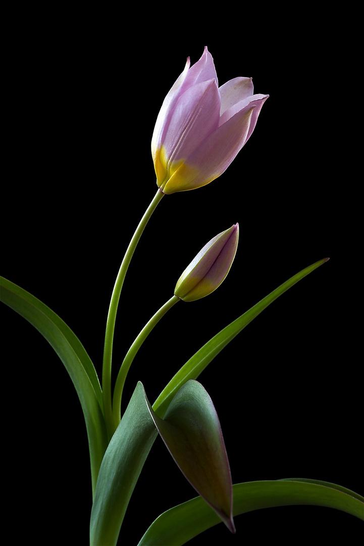 The Wild Tulip