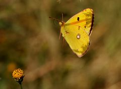 The yellow dream
