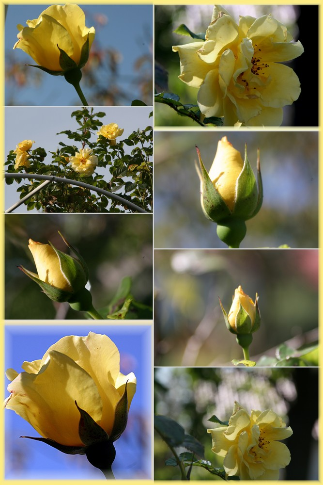 The Yellow Rose of Frankonia