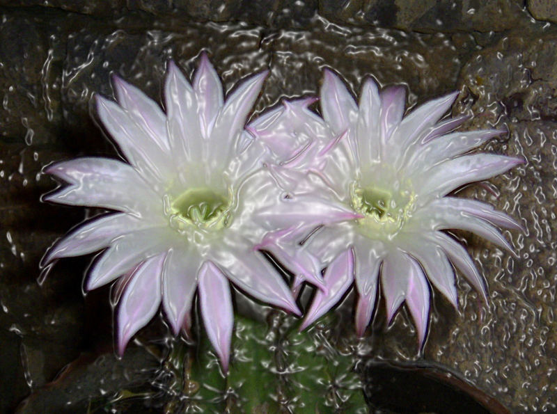 theme & variations on my cactus flowers