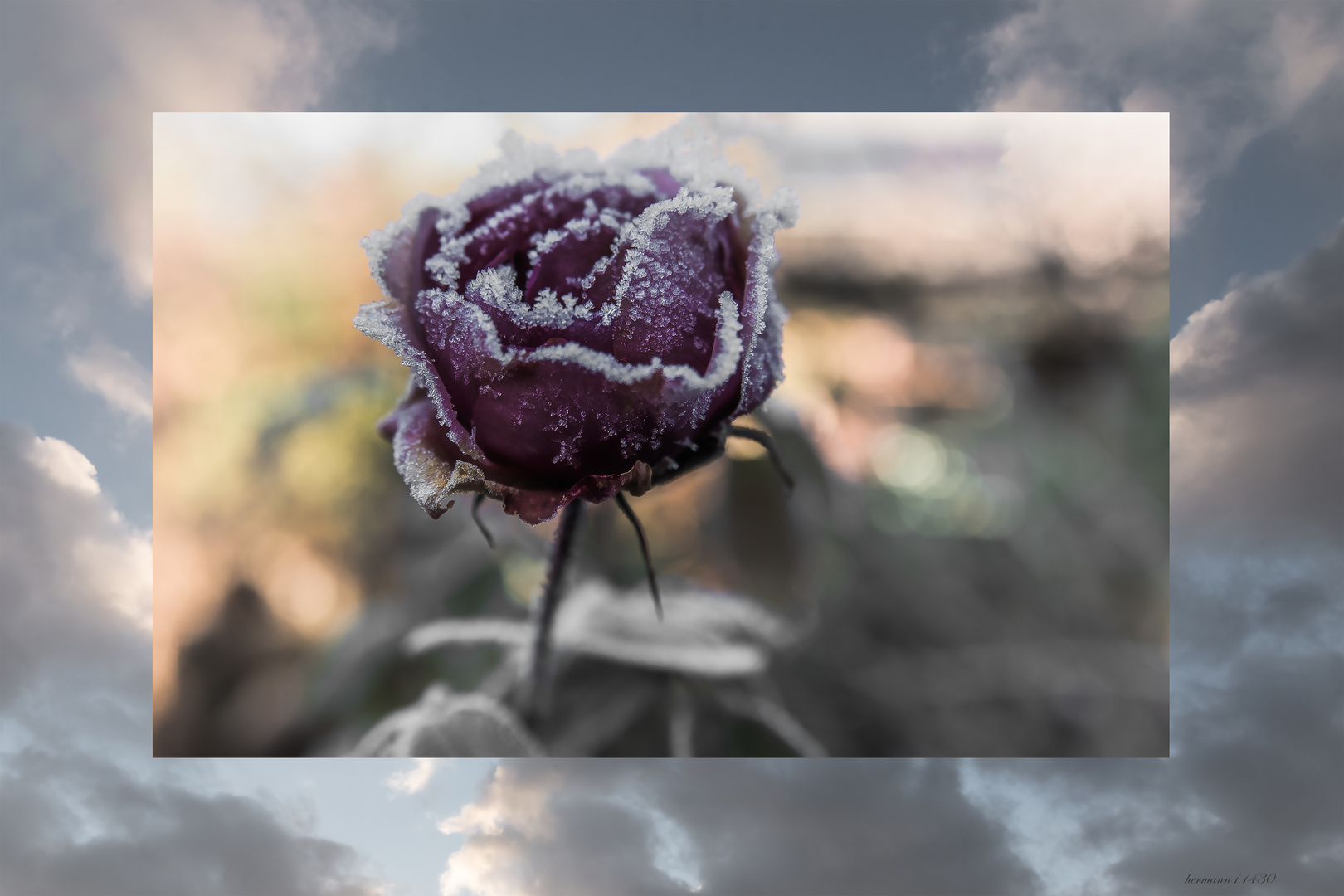 There is a rose...