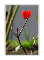 ... these buds were seen in the front garden (budding is another form of ambition)