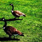 These geese are made for walking...