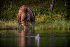Thirsty bear - durstiger Bär.