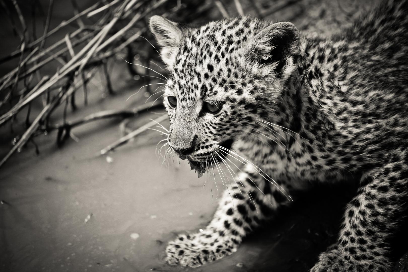 Thirsty little leopard, Serengeti, Tanzania