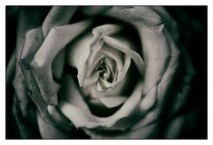 This Rose will Never Die….