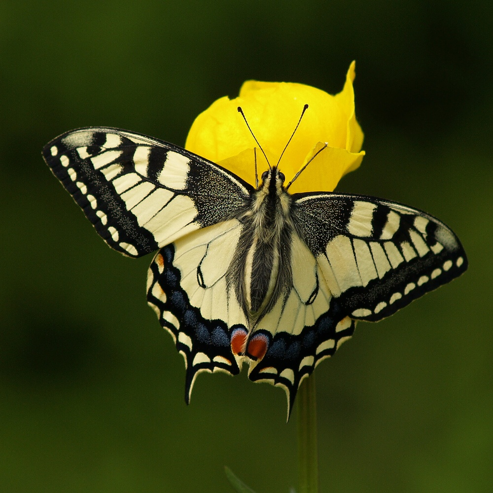 this year sixth come out the Papilio machaon at home