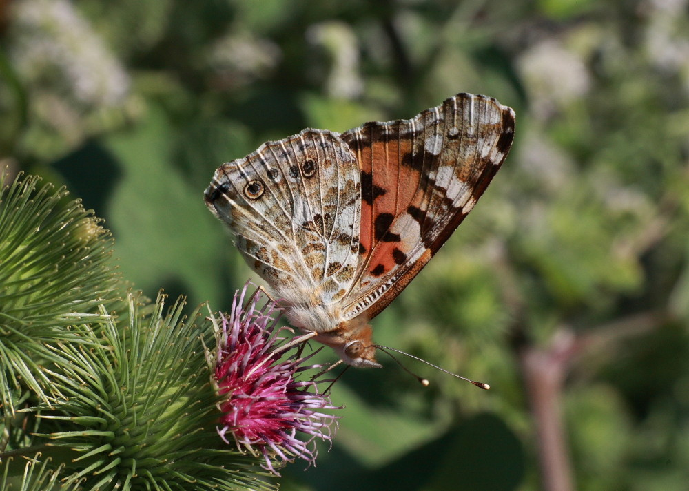 Thistle-Butterfly von Mahmud Akhtar