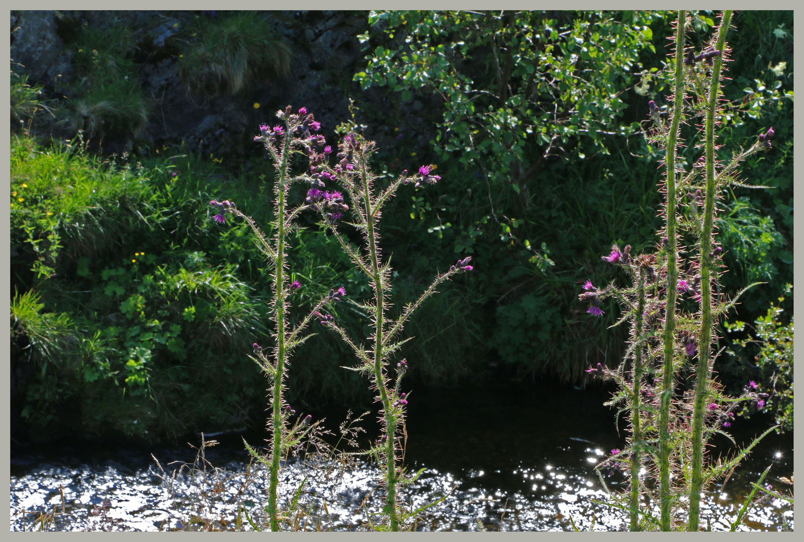 thistles beside the river coquet at barrowburn