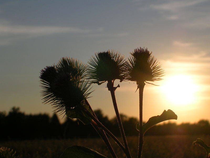 thistles with the sun