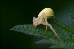 Thomise Misumena vatia femelle (3)