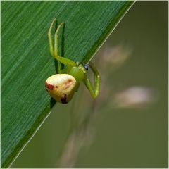 Thomise Misumenops tricuspidatus