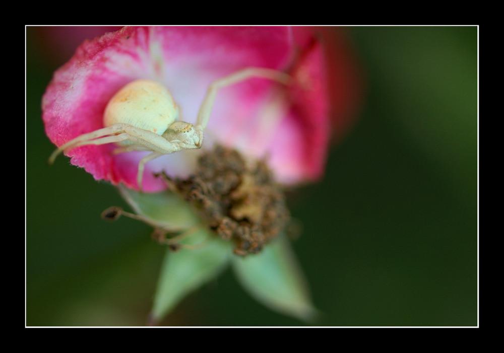 thomise sur très vieille rose...