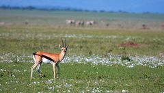 Thompson gazelle.