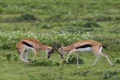 Thomson-Gazelle (Eudorcas nasalis)